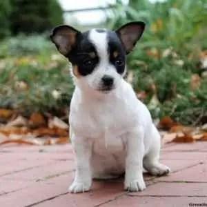 Filhote de Chihuahua