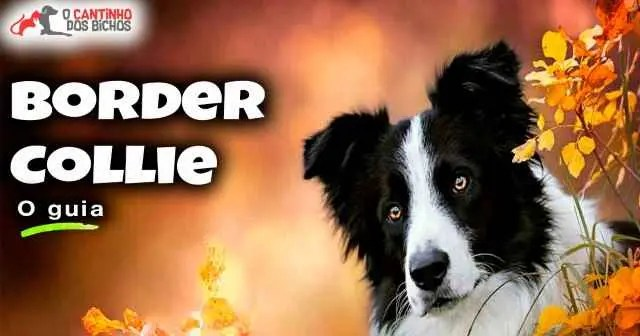 Cachorro Border Collie em destaque