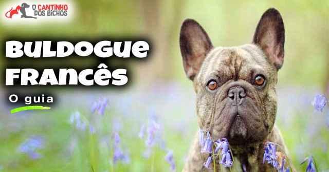 Cachorro Buldogue Francês em destaque