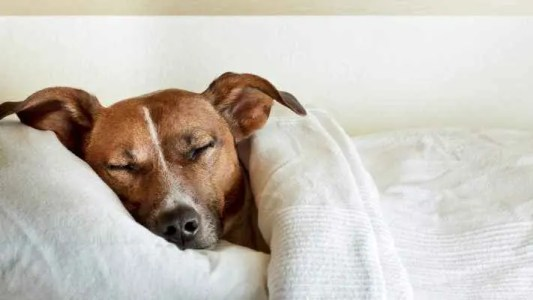 cachorro dormindo cobertor