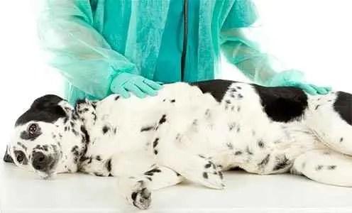 Dálmata com um veterinário