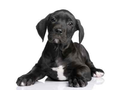 Filhote preto de Dogue Alemão