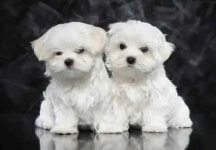 Dois filhotes de Maltês