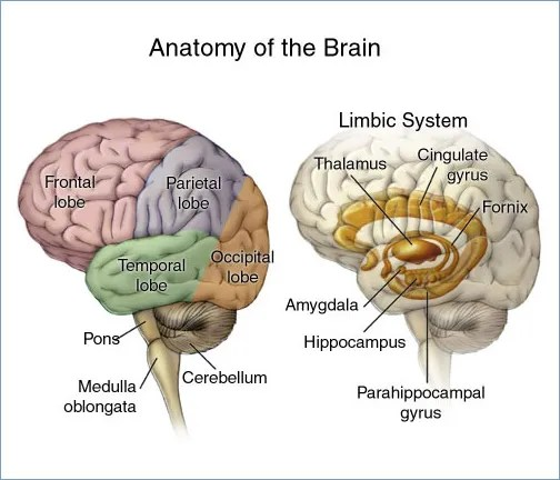 A beautiful, public domain rendering of the anatomy of the brain.