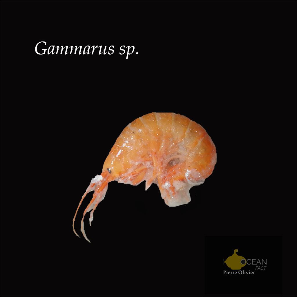 Gammarus sp. - Lab work - Pierre Olivier