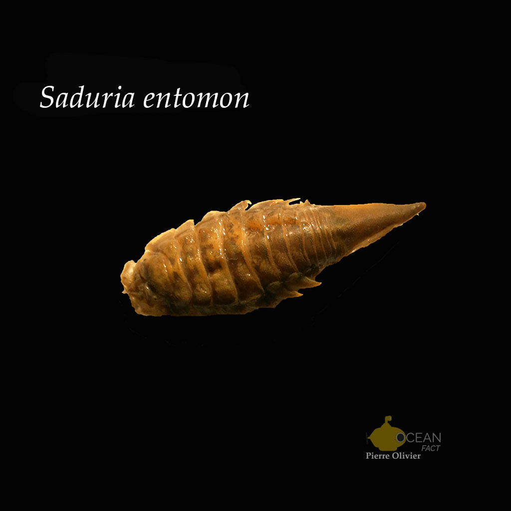 Saduria entomon - Lab work - Pierre Olivier