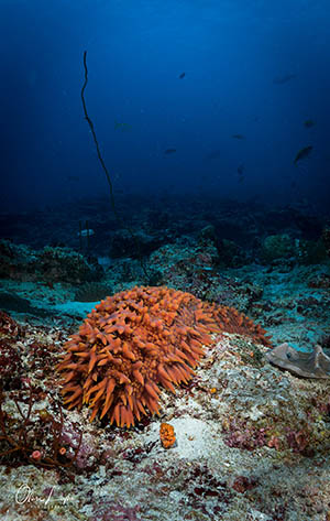 A beautiful sea cucumber