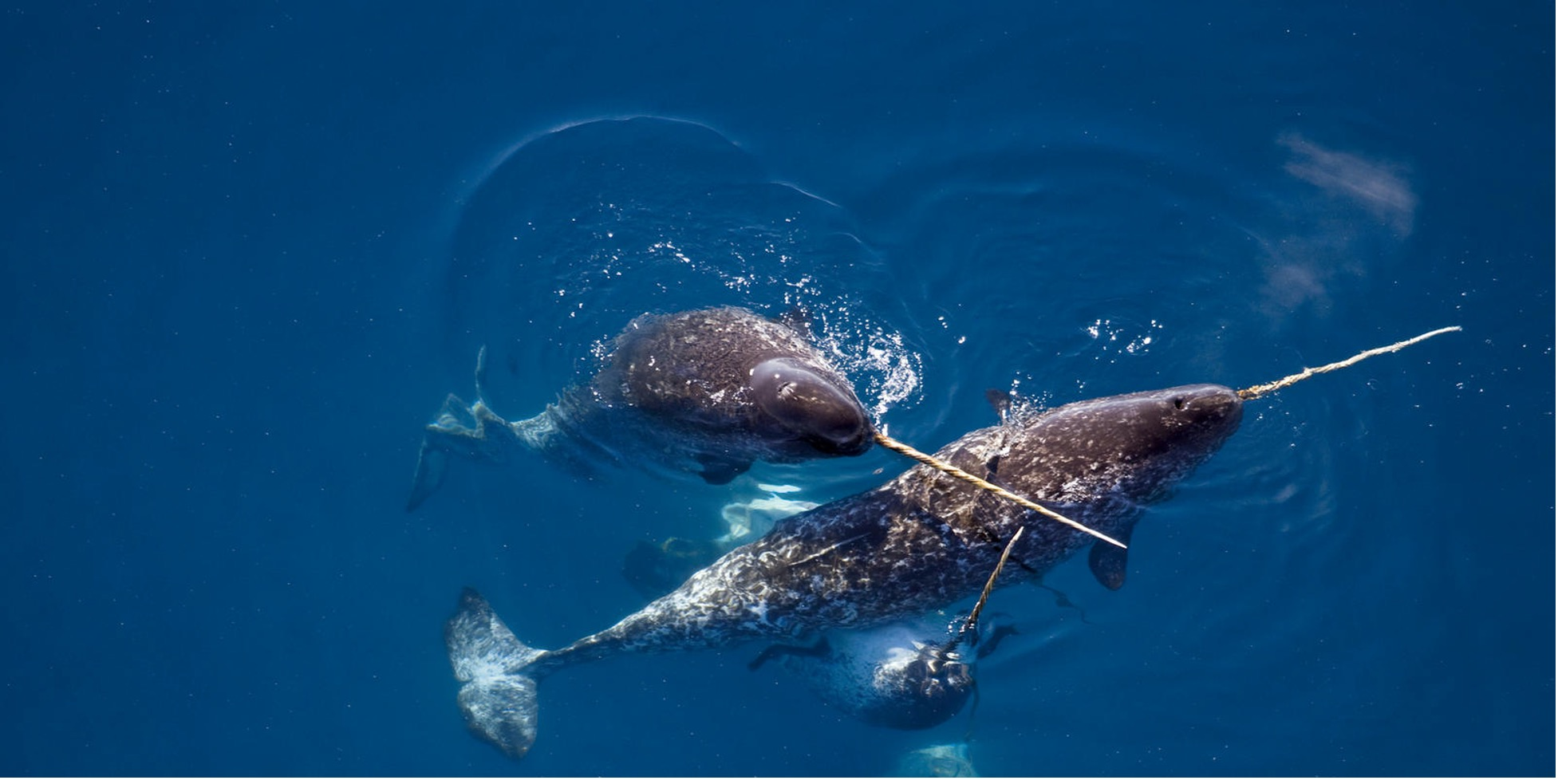 Creature Feature: Narwhals