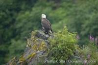 bald eagle 17376