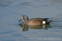 blue winged teal 15730