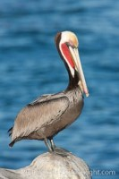 brown pelican 26470