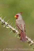 cardinalis sinuatus pyrrhuloxia 22894