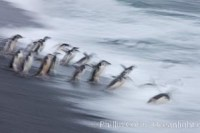 chinstrap penguins deception island antarctica 25456
