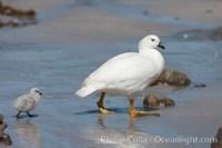 chloephaga hybrida kelp goose falklands 24056