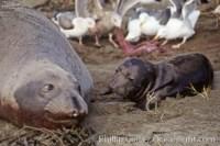 elephant seal 00945