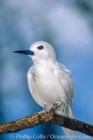 fairy tern gygis alba 00871