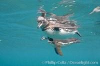 galapagos penguin spheniscus mendiculus 16234