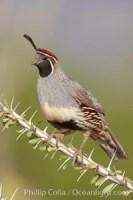 gambels quail 22925