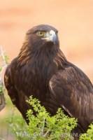 golden eagle aquila chrysaetos 12210