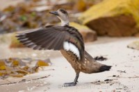 lophonetta specularioides crested duck 23763