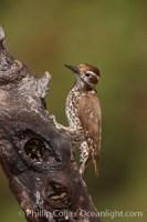 picoides arizonae arizona woodpecker 22972