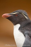 rockhopper penguin eudyptes chrysocome 23722