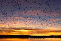 snow geese flight flock 21806 - HEALTH AND FITNESS