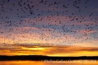 snow geese flight flock 21806
