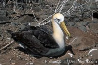 waved albatross 01771 - HEALTH AND FITNESS