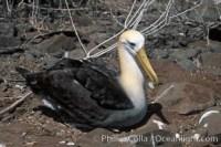 waved albatross 01771
