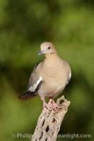 white winged dove 22918