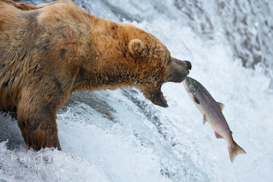 Image result for alaska bears eating salmon