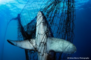Thresher shark dead in gill net in Mexico's Gulf of California.