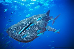 Whale Shark off the coast of Western Australia