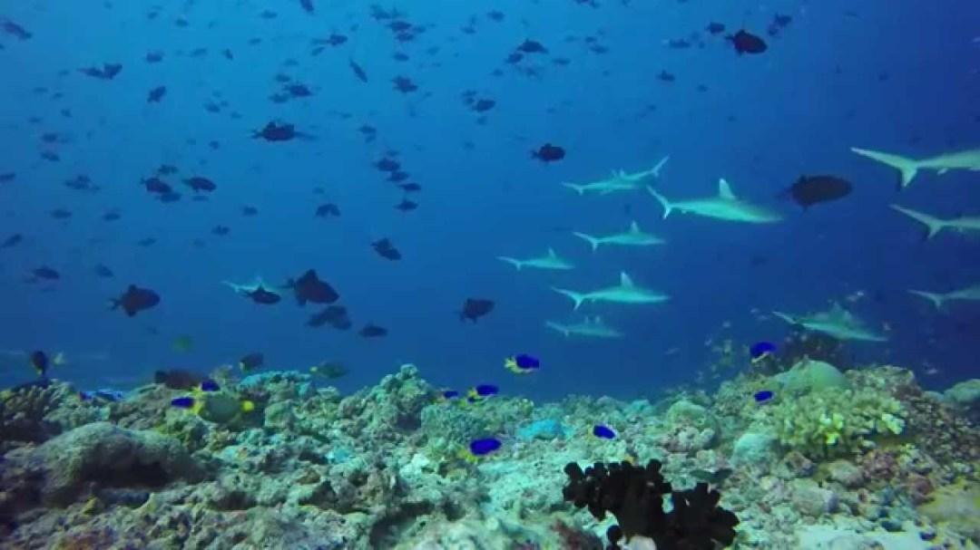 Ocean Optimism: Reef Shark Pups filmed in the Maldives