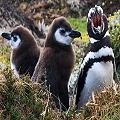 pinguinos_de_magallanes_120