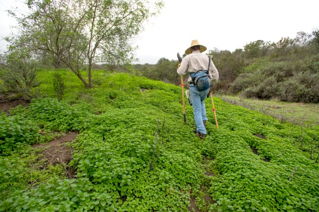 Chuck Wright hikes through stinging nettle in a hill near Barbara's Lake in the Laguna Coast Wilderness Park in Laguna Beach, California, January 10, 2017. (Photo by Jeff Gritchen, Orange County Register/SCNG)