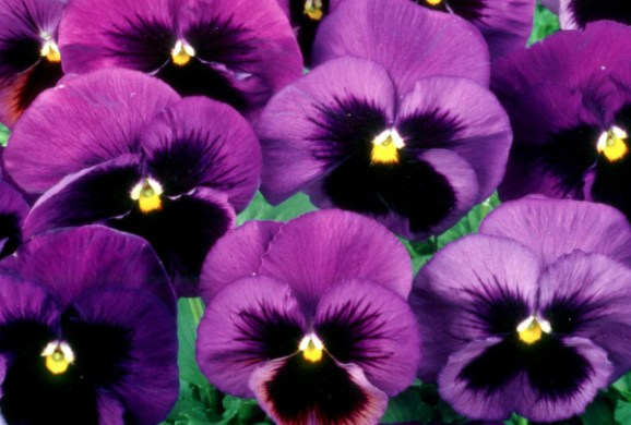 Favorite winter flowers  Pansy     Orange County Register The purples with a black blotch and yellow eye are the most popular  according to Village Nursery