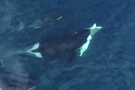 Killer Whales Hunting Great White Sharks