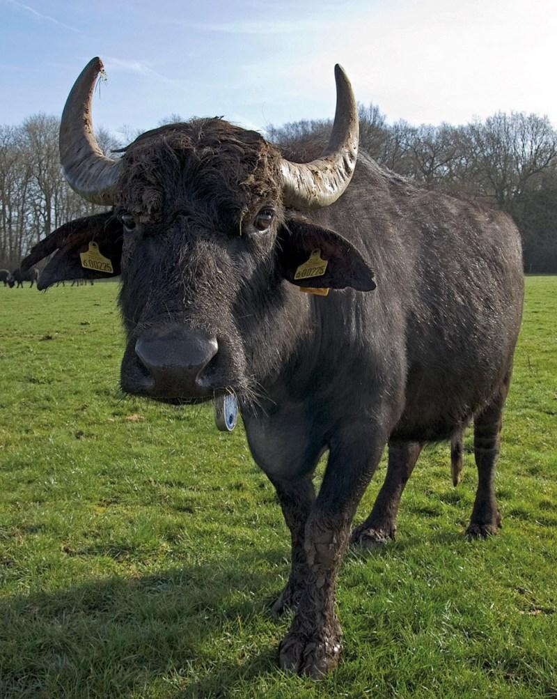 Ein Büffel auf einer Weide.