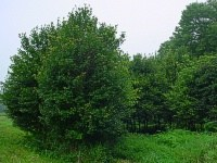 Acer-rubrum-nature-grove