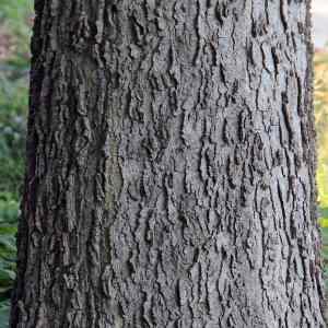 Hackberry bark (Celtis_occidentalis)