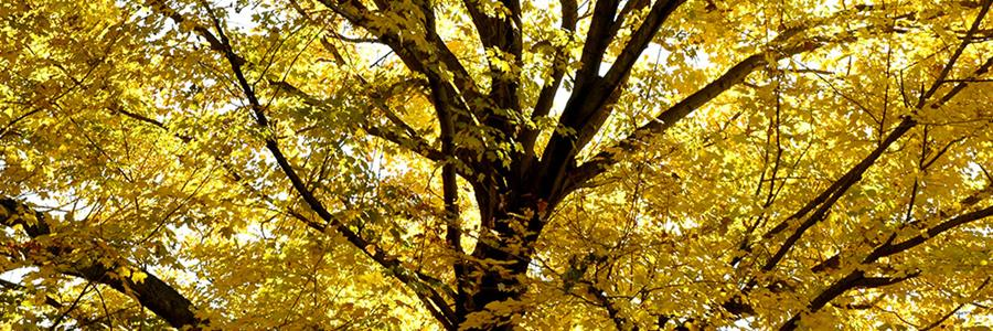 Acer species in fall - Copyright Mark Gormel 900x300