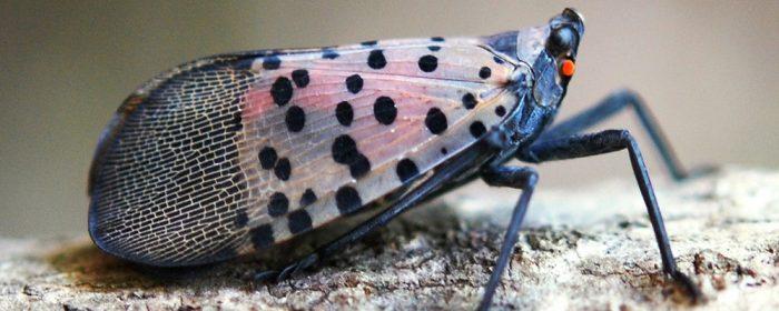 spotted-lanternfly-Lycorma-delicatula