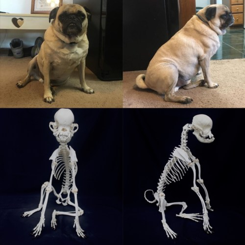 Sitting dog (pug) with reference photos finished June, 2016