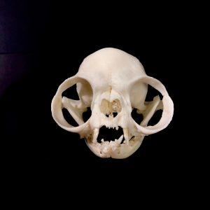 persian cat skull