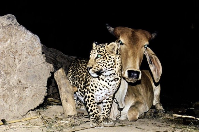 cow and leopard5