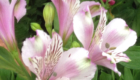 light pink alstroemeria flower with white inside