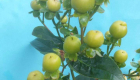 hypericum pacific lemon