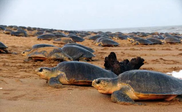 Olive Ridley Sea Turtles 2